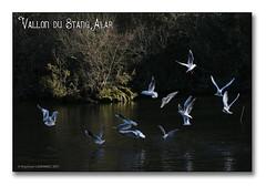 Vallon du Stang alar 2017 - Les mouettes rieuses (porte-plume) Tags: brest stangalar stangalard