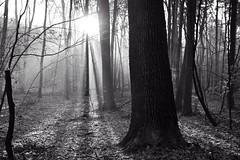 *** (pszcz9) Tags: polska poland przyroda nature natura las forest forestimages drzewo tree słońce sun światło light cień shadow poranek morning promień ray mgła fog mist pejzaż landscape beautifulearth sony a77 bw blackandwhite monochrome czarnobiałe