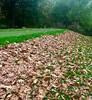 Red oak leaves 293/365 (3) (♔ Georgie R) Tags: redoak leaves golfcourse tilgate crawley sussex