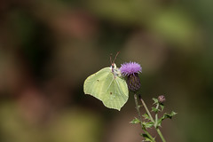 Gonepteryx rhamni (loudz57220) Tags: 150600 7d citron gonepteryxrhamni butterfly canon insect insecte lepidoptère markii nature papillon tamron wildlife
