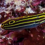 Yellowstripe Goby - Koumansetta hectori thumbnail