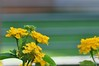 striped bokeh (ladybugdiscovery) Tags: hbw happybokehwednesday bokeh flower garden lantana yellow stripes bokerama bokehlicious