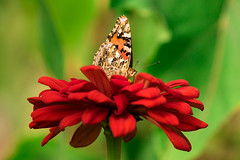 back to butterflies (otgpics) Tags: painted lady vanessa cardui state fair red zinnia orange green nature garden pollinator