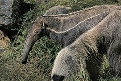 Mochilla the giant anteater, Greenville Zoo (hennessy.barb) Tags: myrmecophagatridactyla anteater giantanteater greenvillezoo greenvillesc