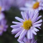 Herbstaster thumbnail