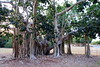 dsc01590 (space lama) Tags: moretonbayfig banyan tree roots