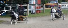 Miniature Horses Or Oversized Jockeys? (Brian 104) Tags: miniature horses carpfair sulkies horseshow
