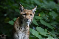 Eurasian lynx - Zoo Duisburg (Mandenno photography) Tags: dierenpark dierentuin dieren duitsland animal animals germany ngc eurasian european lynx duisburg zooduisburg
