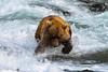 E7D_9007 That salmon is mine, at Brooks Falls, Katmai National Park (Tony_NZ) Tags: wow omg water action brownbear grizzlybear bear katmainationalpark blue