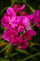 Wild Sweet Pea (http://fineartamerica.com/profiles/robert-bales.ht) Tags: emmett forupload haybales idaho people photo places plants projects states sweetpea blossom stem beautiful sweet flora white isolated color flower natural petal light bloom pea nature flowers pink spring semitransparent blooming floral organic perennial bulb beauty lathyrusodoratus pinstripes peas plant wild annual fragrant leaves lathyrus leguminosae pastel robertbales vignette closeup macro purple raindrop waterdrop