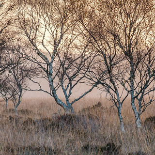 Birch Trees at Dawn