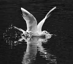 (lisacartwheels21) Tags: wildlife nature gulls birds 2017 bradgate outdoor