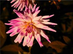 Autumn beauty (Ostseetroll) Tags: deu deutschland geo:lat=5407417043 geo:lon=1077903047 geotagged hansapark schleswigholstein sierksdorf dahlia dahlie herbst autumn makroaufnahme macroshot