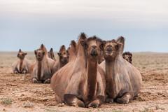 1706_mbe_mongolia_ömnögov_tsogt ovoo_053 (Marcel Berendsen - The Netherlands) Tags: asia asian azie camelusbactrianus mongolia mongolian mongolië travel tsogtovoo world agrarisch agricultural agriculture bactraincamel camel camels caprine countrified desert farming gobi gobidesert kameel kamelen landelijke landscape landschap rural rustic scenery scenic travelphotography woestijn ömnögov