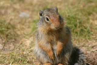 Columbian Ground-Squirrel standing up!