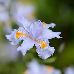 A pretty little Iris (Ptolemy the Cat) Tags: iris flower nature garden bokeh nikond600 tamronf2890mmmacrolens