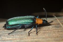Prionocerus coeruleipennis