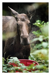 Mama Moose (Robert Drozda) Tags: fairbanks alaska home garden cowmoose drinkingmoose alcesalces summer 2017 drozda