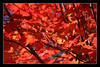 canadian autumn mood (Ste_✪) Tags: eos760d acero maple arce foglie leaves hojas autunno ottobre2016 otoño autumn canada canadá quebec monttremblant rojo red rosso foliage