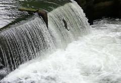 Salmon jump (shama rama) Tags: salmon salmonrun fish jump falls tumwater olympia washington wa leap