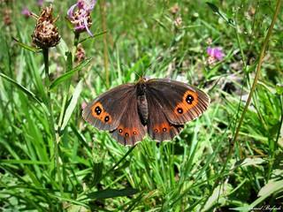 Butterfly 1459