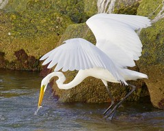 Gulf Pier White Egret Catching (dbadair) Tags: outdoor seaside shore sea sky water nature wildlife 7dm2 gulf fishing catching