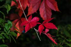 Rote Herbstblätter - Red Autumn Leaves (Jutta M. Jenning) Tags: laub herbstlaub rot blatt blaetter herbstblatt herbstblaetter herbst natur autumn leaves red autumnleaves nature blattwerk canon eos70d