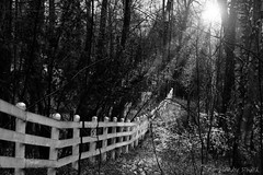 Rayons ... ( P-A) Tags: nb rayons clarté lueur espoir attente vision positif attitude forêt arbres lueurs sourire automne parcdelagatineau domainemackenzieking terrain visiteurs histoire nikond800 photos simpa© jesuisvenuevousdire