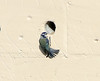 Bluetit 1 061017  1S9A0773 (saundersfay) Tags: bluetit flying nesting wings fluttering feathers