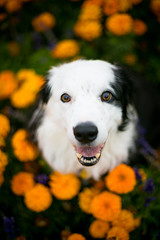 Mums is The Word (Anda74) Tags: ouzo bordercollie canonef50mmf18 mums flowers orange fall autumn october