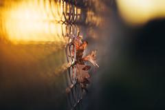 Autumnal Fence Story (der_peste) Tags: sunset blur dof bokeh fence hff friday leaves leaf autumn shallowdepthoffield depthoffield