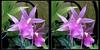 Longwood Gardens Flowers 10 - Crosseye 3D (DarkOnus) Tags: pennsylvania bucks county panasonic lumix dmcfz35 3d stereogram stereography stereo darkonus longwood gardens flowers scenic scenery flower botanical garden orchid orchids crossview crosseye