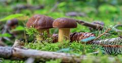 Maronenröhrling (Sandra Hieber) Tags: pilz mushroom grass wald forest tannenzapfen pinecone maronenröhrling canon tamron bayern bavaria germany deutschland
