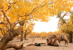 Camels 駱駝 (MelindaChan ^..^) Tags: innermongolia china 內蒙古 額濟納旗 camel ride chanmelmel mel melinda 駱駝 animal melindachan life populuseuphratica 胡楊樹 autumn plant yellow forest foliage 二道橋 四道橋