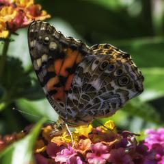 Butterfly_SAF3712 (sara97) Tags: butterfly copyright©2017saraannefinke endangered insect missouri nature outdoors photobysaraannefinke pollinator saintlouis towergrovepark