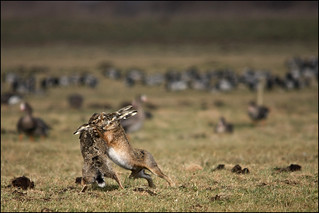 Haas - Lepus lepus - Hare
