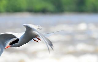 902_common tern-1