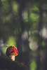 Extasis (Missy Karine) Tags: ngc amanite champignon funghi wild bokeh bokehlicious fineart nature vegetal primotar vintage macro 7dmarkii forêt forest mushroom flares automne light autumn