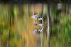 ALONE IN COLOR (Bill Vrtar Photo) Tags: millcreekpark lilypond boardman ohio vrtarsmugmugcom heron blueheron