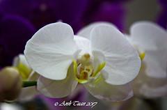 Anglų lietuvių žodynas. Žodis orchid reiškia n orchidėja lietuviškai.