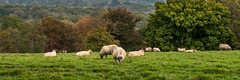 20171015-IMGP0790 (rob mulf) Tags: nymans landscapes sheep pentax westsussex greatbritian england outdoors nature