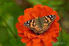 Just one more...    (Explored) (dbifulco) Tags: explored nature butterfly flowers garden insect macro newjersey orange paintedlady zinnia