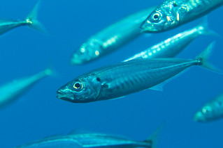 baitfish3Oct6-17