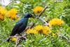 2016 10 14_Greater Blue-eared Starling-1.jpg (Jonnersace) Tags: africa krugernationalpark africanbirds wildmango cordylaafricana lamprotornischalybaeus grootblouoorglansspreeu canon safari lowersabie greaterblueearedstarling yellow