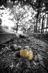 Autumn is here! - A walk in the wood - (Mario Ottaviani Photography) Tags: sony sonyalpha italy italia paesaggio landscape travel adventure nature scenic exploration view vista breathtaking tranquil tranquility serene serenity calm marioottaviani autunno autumn fall bokeh blackandwhite blackwhite monochrome mono monocromatico monocromo castagne chestnuts