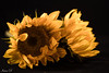 Fire flowers (Irina1010_out for sometime) Tags: flowers sunflowers light petals yellow darkbackground fireflames nature canon ngc coth5 npc