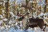Large Bull (blkwolf1017) Tags: caribou bullcaribou rangifertarandus interioralaska canon50d sigma150600mm