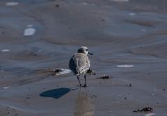 DSC_9590 (capt_tain Tom) Tags: sandpippers sandpiper sand shorebird shorebirds water waterbirds waterreflection gulfofmexico gulls