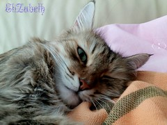 Good Morning🍁😊 (thequeenelizabeth_3) Tags: morning home morgen cute thejoyoflife green eyes siberian cat mybed