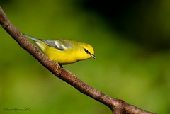 Blue winged Warbler (Danielirons02) Tags: nikon300mmf4 nikond610 nikontc14 nikon bird birding songbird warbler fullframe photography lighting blue winged